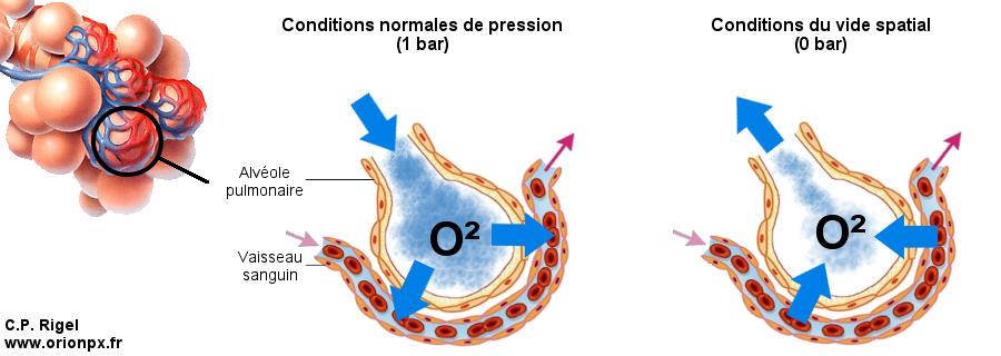 Echanges gazeux dans les alvéoles pulmonaires en cas de pression nulle. (Crédits: C.P. Rigel)